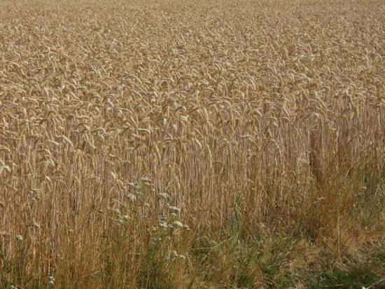 champ de céréales mûres