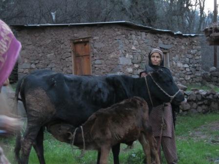 Sheila Devi et sa vache