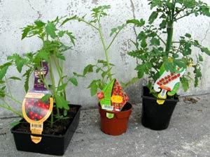 Un vendredi pas comme les autres plyson le blog d 39 amtealty - Hauteur plant de tomate ...