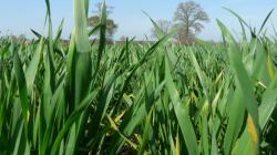 blé en sd