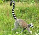 cryptozoologie cryptozoology lémurien maki catta zoo particulier animal échappé nouvelle espèce zoologie maki mococo