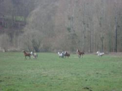 troupeau Welsh