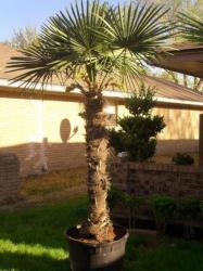 chamaerops humilis palmier