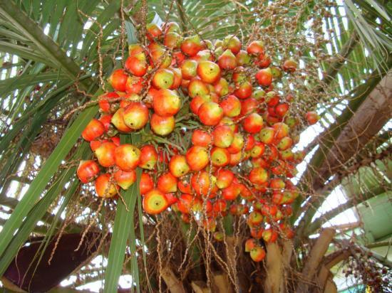 fruit de butia