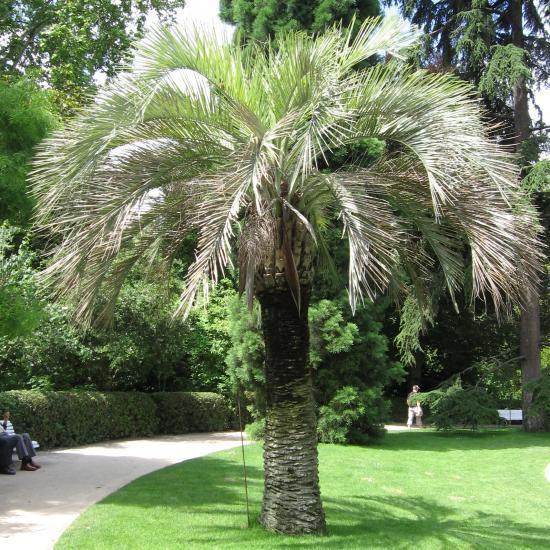 butia palmier