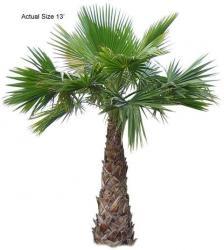 washingtonia palmier