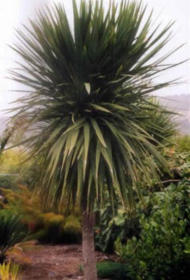 cordyline palmier