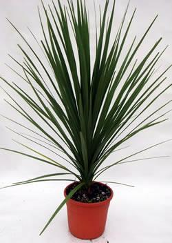 cordyline en pot