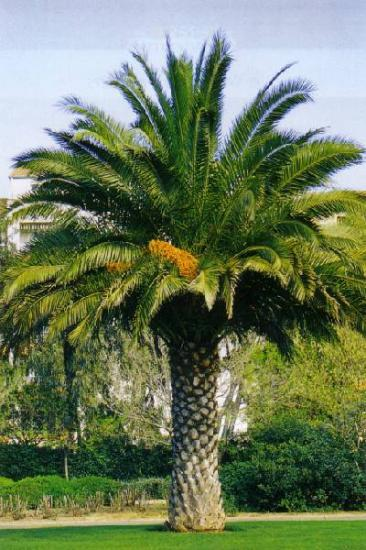 phoenix palmier