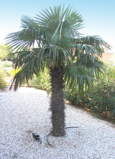 Chamaerops excelsa - Palmier resistant au froid ...