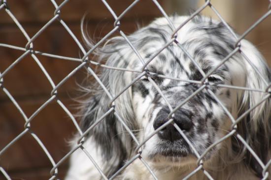 VIGO  né en 2009 superbe et adorable , un vrai coeur plein de poils , abandonné suite a un déménagement .