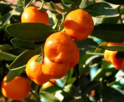 calamondin detail