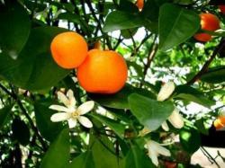 mandarinier fleur et fruit