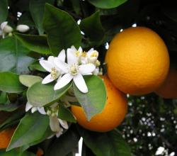 oranger fleur et fruit