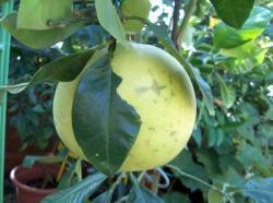 pamplemousse fruit