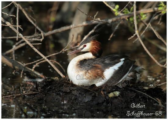 Grèbe au nid