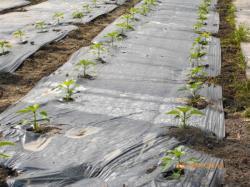 Légumes sont plantés sur la bâche biodégradable
