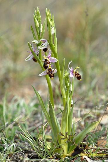 orchidee sauvage poitou charentes
