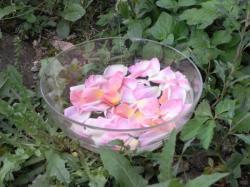 extraction traditionnelle des élixirs floraux