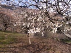 Elixir de fleurs de cerisier