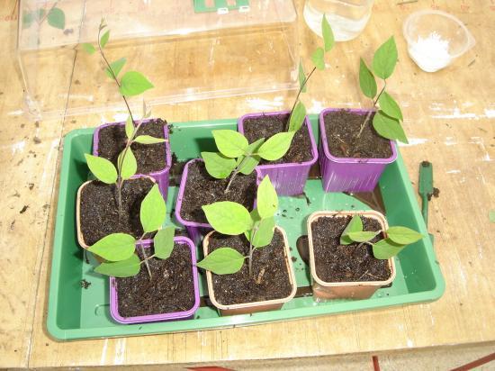 planter une jeune pousse de lilas