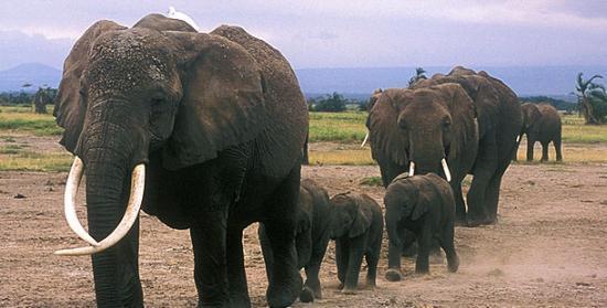 Une étude de 40 ans prouve l'intelligence des éléphants