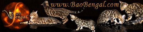 Chatterie BaoBengal, élevage de chat de bengal