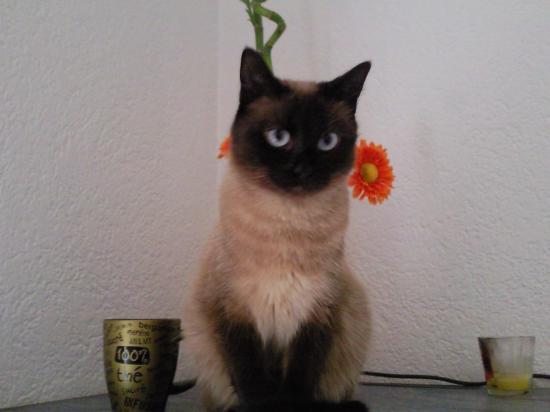 Exceptionnel chats siamois/Birmans etc trouvés sur le net - Page 21 JI86