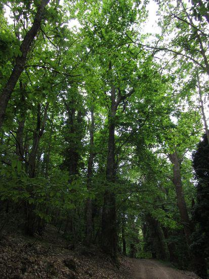 Forêt de Châtaigniers