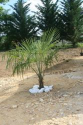 Palmier 1 mois après plantation