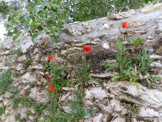 coquelicot dans un mur de pierres