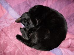 chat noir perdu-Plaisr (YVELINES)