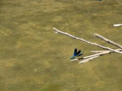 la maison au bord de la riviere - libellule bleue
