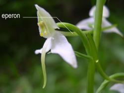 Eperon chez Platanthera chloranta