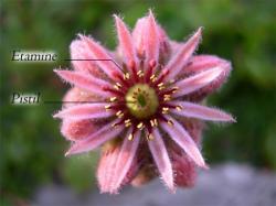 organes reproducteurs des fleurs
