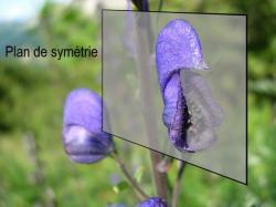 l'aconit n'est pas une orchidée mais est zygomorphe