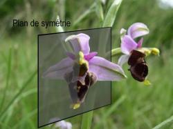 symétrie d'une orchidée