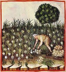 Récolte de l'ail