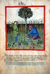 L'ail - Tacuinum sanitatis, Allemagne, XV° siècle.