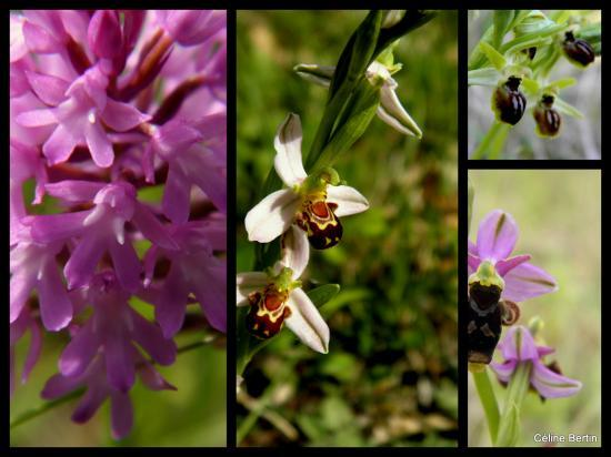 orchidee sauvage en charente maritime