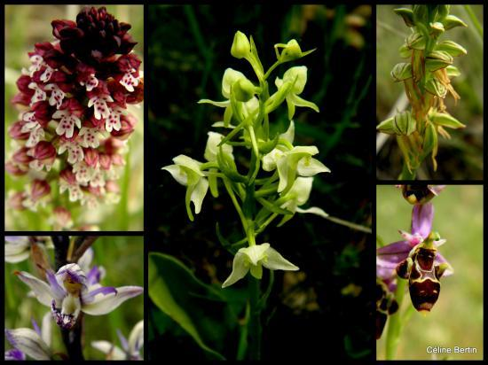 orchidee sauvage dordogne