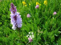 Saltarelle_fleurs_des_Vosges