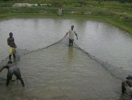 La recolte de la production aquacole