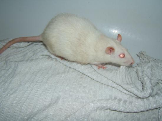 Wish, ratte albinos