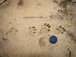 Les empreintes montrent même la palmure de l'animal