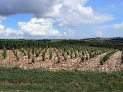 Vignes de Morogues, dans le vignoble de Menetou-Salon (Cher). © DR