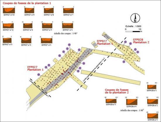 Plan des traces des plantations 1 et 2 reconnues à Banyuls-dels-Aspres et proposition de délimitation des deux parcelles. On remarque, en haut à droite, qu'une rangée de fosses au tracé sinueux, associée à la plantation 2, pénètre largement dans la plantation 1. Les zones de contact entre deux plantations font souvent l'objet de reprises visant sans doute à compléter des manques (par la technique du marcottage ?).  © F. Audouit et P. Sarazin, Inrap