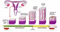 évolution de l'endomètre au cours de cycle menstruel