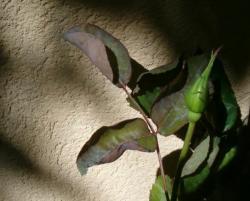 oïdium sur un rosier