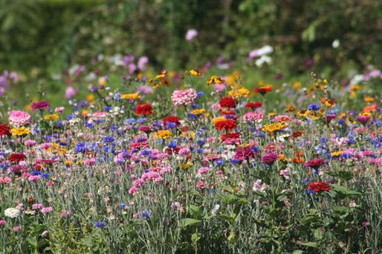fleurs mellifères, hirondelle, coccinelle, cosmos bipinatus